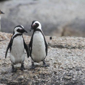 Čilė. Pingvinai Magdalenos saloje.